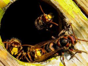 Le nouveau business de la lutte contre les nids des guêpes